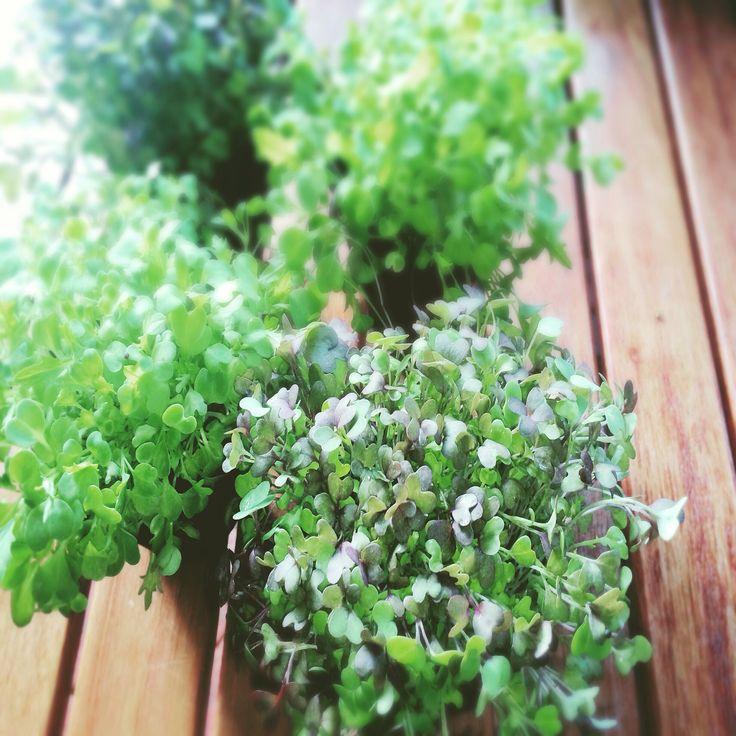 Local micro greens for garnish