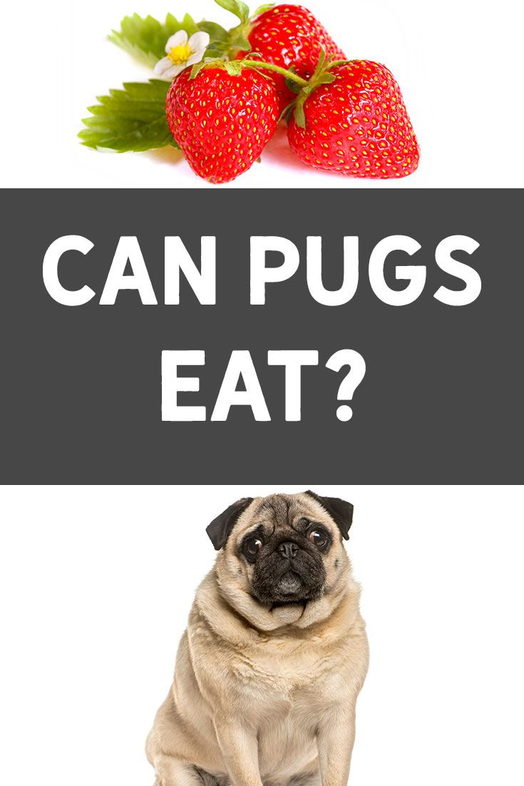 Can Pugs Eat Strawberries Find Out How To Add It To Your Dog S