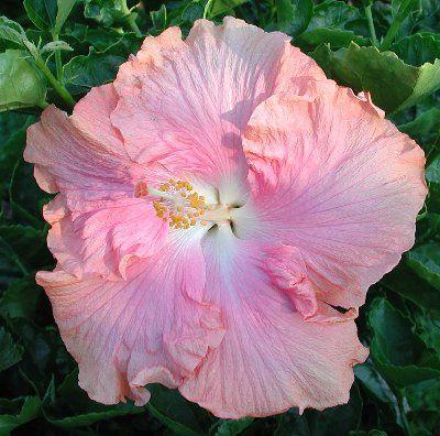 Hibiscus 'Mrs. Tompkins' I wish I had this hibiscus plant