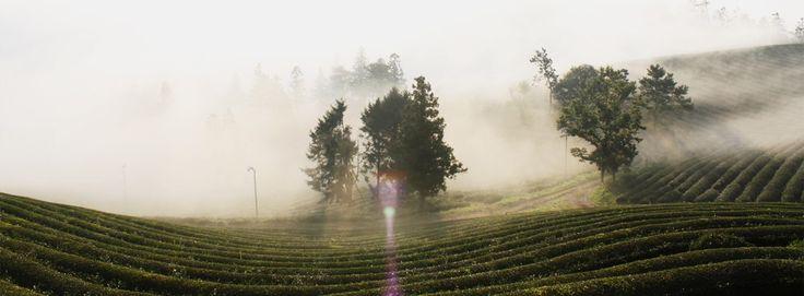 Organic Green Tea Farm  유기농 녹차 차 중의 차 봉슈아
