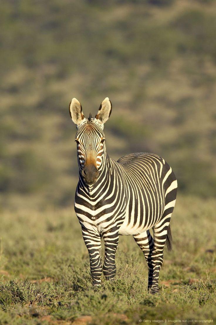 Cape mountain zebra, South Africa,