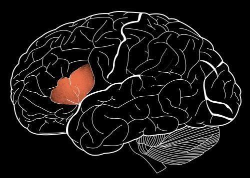 Brain's language center has multiple roles
