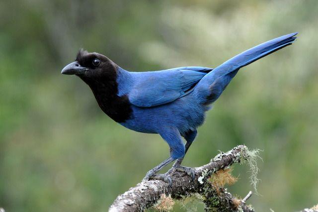 Foto gralha-azul (Cyanocorax caeruleus) por Dario Lins   Wiki Aves - A Enciclopédia das Aves do Brasil