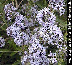 Buddleja, Schmalblättriger Sommerflieder Buddleja alternifolia lilablaue Blüten