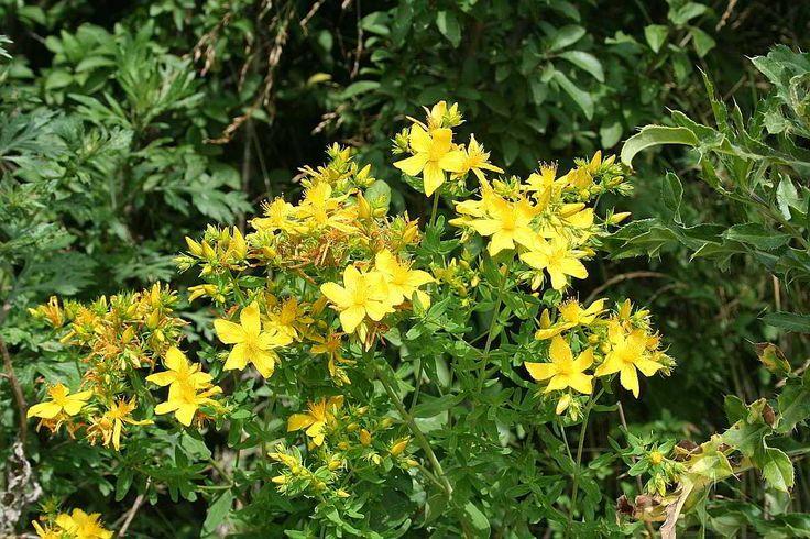 Johanniskraut - Rotöl Gerade jetzt zur Sommersonnenwende werden die Johanniskrautblüten für das berühmte Rotöl gesammelt. Sie sollen nun besondere Heilkräfte haben. Das Johanniskraut-Rotöl ist ein sehr bewährtes Wundpflegeöl [...]