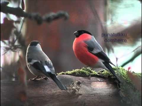 Pihabongauslintuja ääninäyttein (video 2:48).