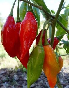 25 best images about chili peppers on pinterest purple - Best romanian pepper cultivars ...