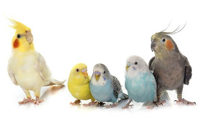 How Help : Can Lovebirds and Budgies Live Together?