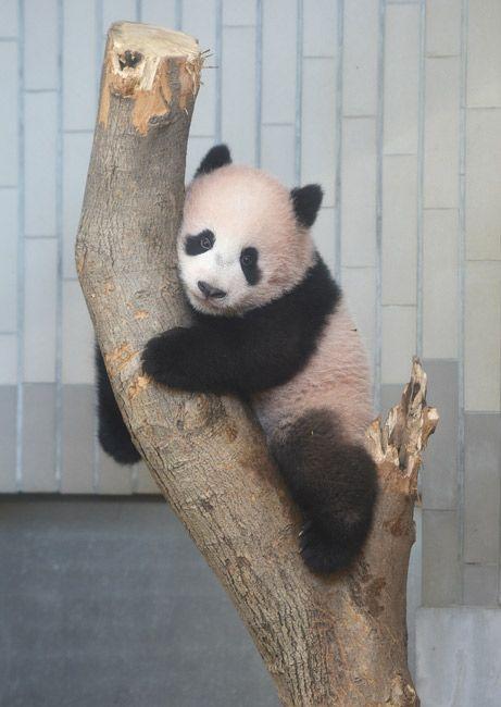 木に登るジャイアントパンダ「シャンシャン」=東京都台東区の上野動物園[東京動物園協会提供]
