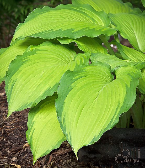 Hosta 'Journey's End' is one of my new favorites.