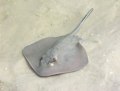 Love Life of the Octopus: Manta Ray vs Stingray: What's The Difference?