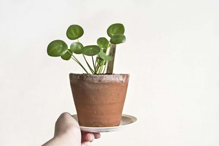 18 best pilea peperomioides images on pinterest green plants inside garden and indoor house. Black Bedroom Furniture Sets. Home Design Ideas