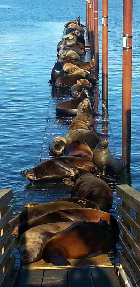 U.S. Astoria, Oregon sea lions // Photo taken by Barb Dusevoir.