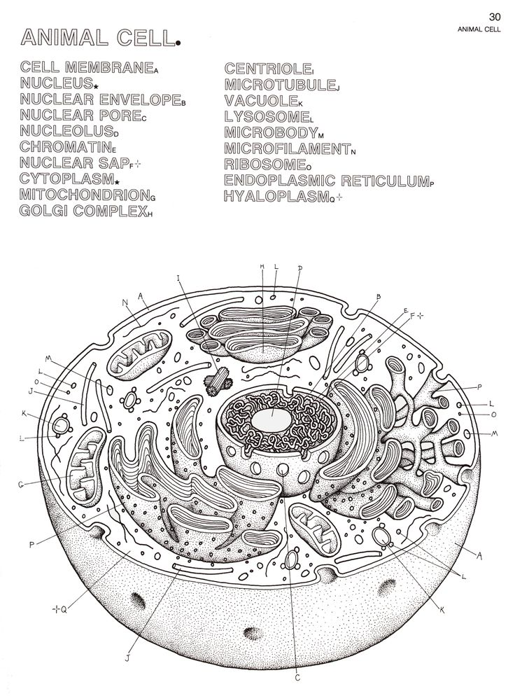 Coloring Page Animal Cell The best animal cell coloring sheet