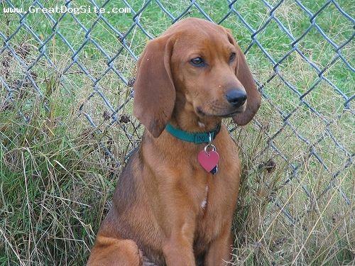 Redbone Coonhound: Animal Pictures, Adorable Animals, Red Bones, Coon Hounds, Redbone Coonhound, Precious Animals, Puppy Stuff, Dream Dogs