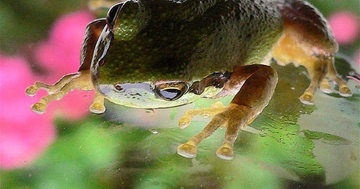 Partes do sistema muscular de um sapo. Os sapos são uma das criaturas mais fascinantes da mãe natureza. Muito habilidoso e um caçador especializado, os sapos são capazes de saltar longas distâncias e capturar suas presas de longe com suas longas línguas. Sapos têm um sistema muscular e esquelético único, que os permitem desenvolverem-se em seus habitats naturais. Seja pulando, nadando ...
