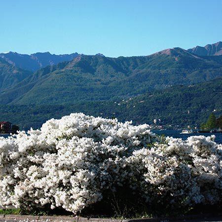Delaware Valley White Azalea | Cold Hardy Azalea for Sale | Fast Growing Trees