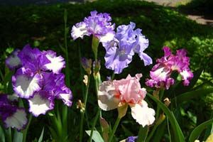 Growing iris tips