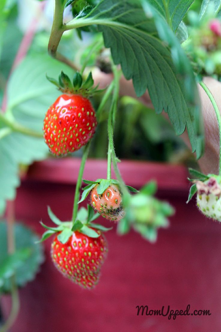 Strawberries from the home garden.  http://www.momupped.com/growing-veggies.html