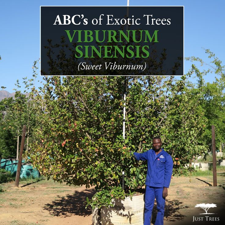 Our next ABC's of Exotic Trees takes a look at the Viburnum sinensis (Sweet Viburnum). This attractive evergreen shrub does well in larger spaces as it can reach 5m in height and 4m in width. The Sweet Viburnum makes a lovely ornamental plant due to its glossy leaves and white fragrant flowers that appear in autumn and winter. Use it to attract birds and butterflies to a fragrant garden!