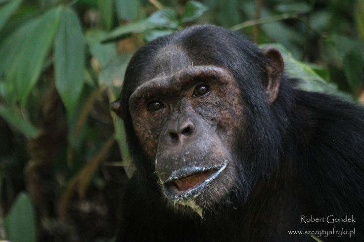 Uganda || Szympans || www.szczytyafryki.pl || #Uganda #Szympans #Afryka