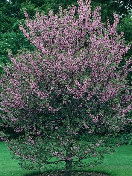 17 best ideas about small garden trees on pinterest for Trees to plant in a small garden