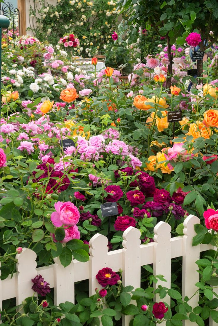 Beautiful rose gardens of the world - A Beautiful Mix Of Rose Types Colours And Scents Tuscany Superb Lady Of Shalott Ausnyson And Ispahan