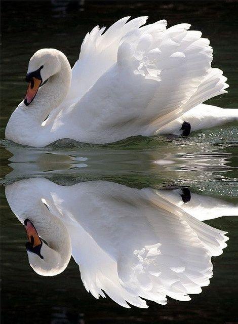 beautymothernature: Beautiful Beautiful swan Love Moments