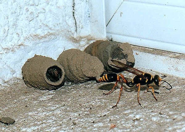 "Take a good look at the mud dauber wasp...very beneficial as it captures black widow and brown recluse spiders and feeds them to it's larvae...a ""no kill"" bug...let it do it's work and don't kill them or spray them with wasp spray...why do that?"