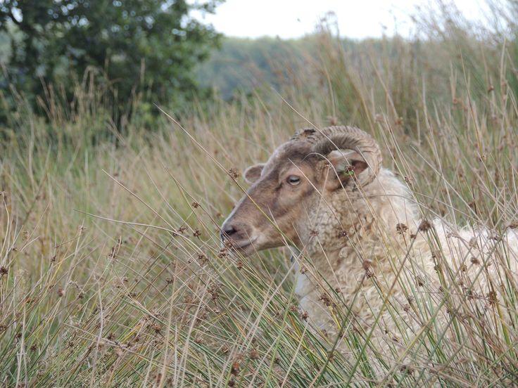 het Drentse Heide schaap