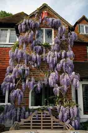 wisteria: Flowers Wisteria, Country Cottages, Tilfordcottagegarden Co Uk, Beautiful, Electric Purple, Enchanted Cottages, Architecture