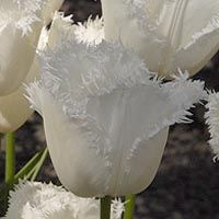 "White ""honeymoon"" tulips"