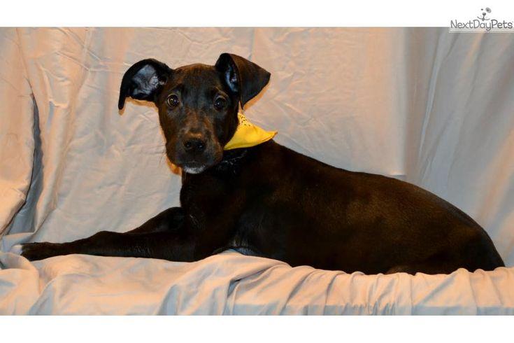 Meet Female a cute Great Dane puppy for sale for $300. Half Euro Great Dane Puppy    2-furs