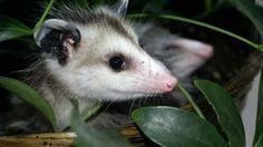 Homemade natural possum repellant