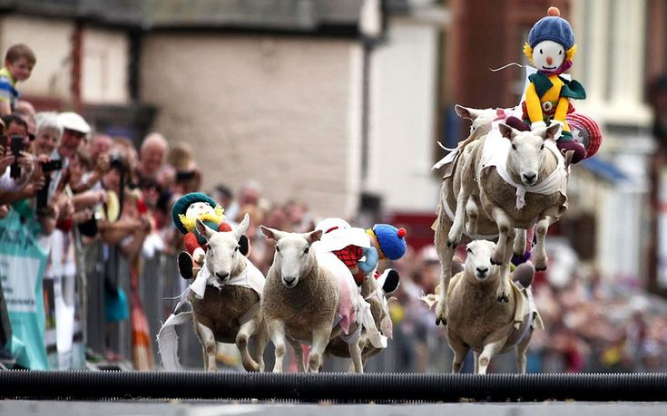 A sheep racing competition is held on a street in the town of Moffat in Dumfriesshire, Scotland  Picture: Michael McGurk / Rex Features