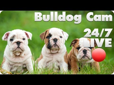 Distractify | This Bulldog Puppy Live Cam Is The Best Reason To Not Get Work Done Today