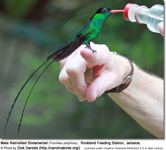 The Streamertail hummingbirds are found only on the island of Jamaica, and are in fact the national bird. This Male Red-billed Streamertail was photographed at Rockland Feeding Station, Jamaica by Dick Daniels.