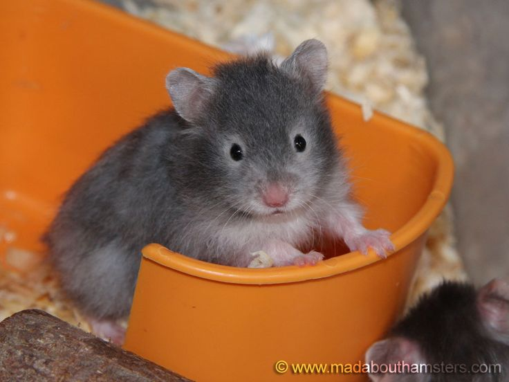 """This is a """"sable"""" colored hamster - Adorable!"""