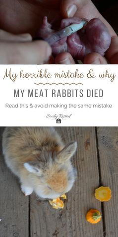 raising meat rabbits | Two reasons i sometimes consider giving up on homesteading | homesteading difficulties | homesteading is hard | soulyrestedlcom