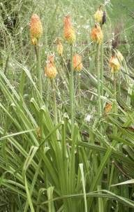 Long, arching leaves typical of Kniphofia