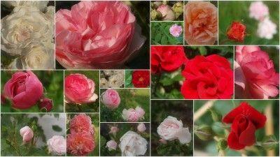 Heute ist mir aufgefallen, wieviele Rosenstöcke es bereits in unseren Garten gibt. #landleben