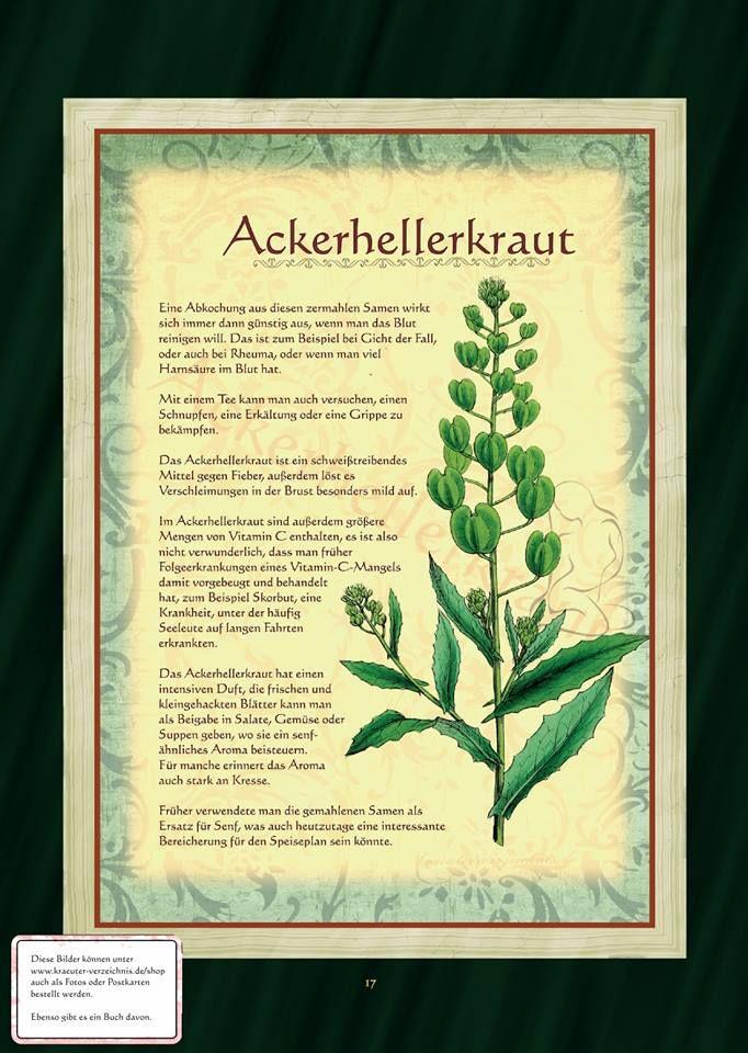 Cool Ackerhellerkraut