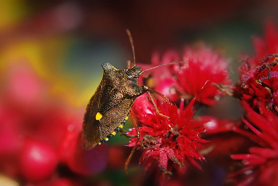 Pentatoma Rufipes (Forest Bug) by Yhun Suarez ~❥