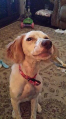 NAHLA-ADOPTION PENDING! is an adoptable English Setter searching for a forever family near Ramsey, NJ. Use Petfinder to find adoptable pets in your area.