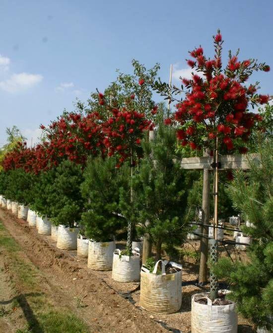 Callistemon Laevis Barcham Nursery Trees In Flower