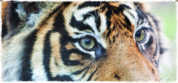 Tiger at Chessington Zoo in Surrey, UK