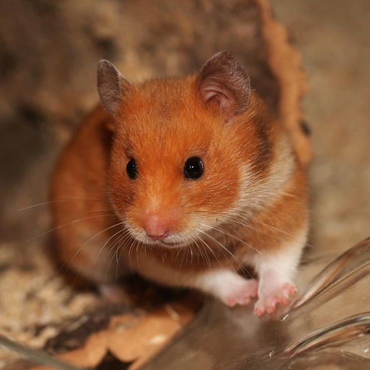 Syrian Hamster | via Facebook - Los Bandidos Hamsterzucht