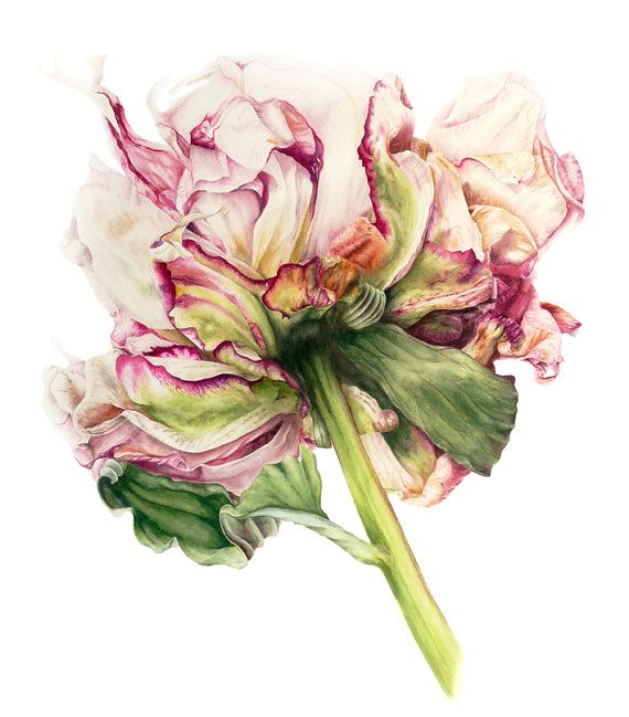 Peony   fine art  archival botanical print 11 x by BlueShedStudio