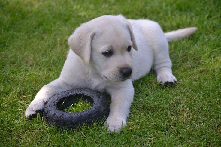 Best Dog Food For Golden Retrievers Australia