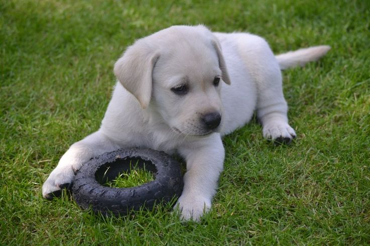 If we don't have any labrador retriever puppies for sale at the moment you can join our waiting list! Description from dogbreedspicture.net. I searched for this on bing.com/images